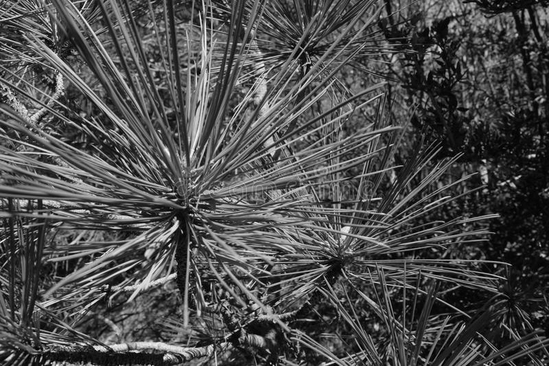Black and white pine tree needles stock photography