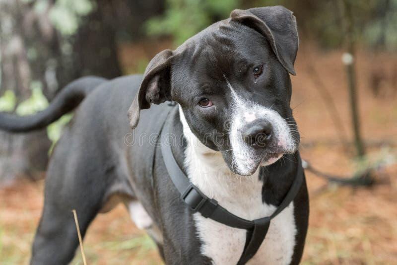 Black and white Pitbull Bulldog with black harness cute head tilt. Black and white not neutered male Pitbull Bulldog with black harness, cute head tilt for stock photo