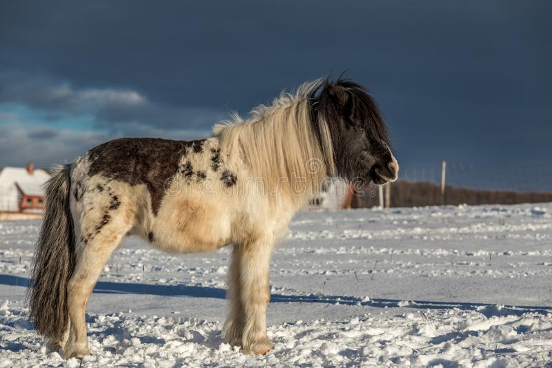 Black and white pony standing in the snow stock photos