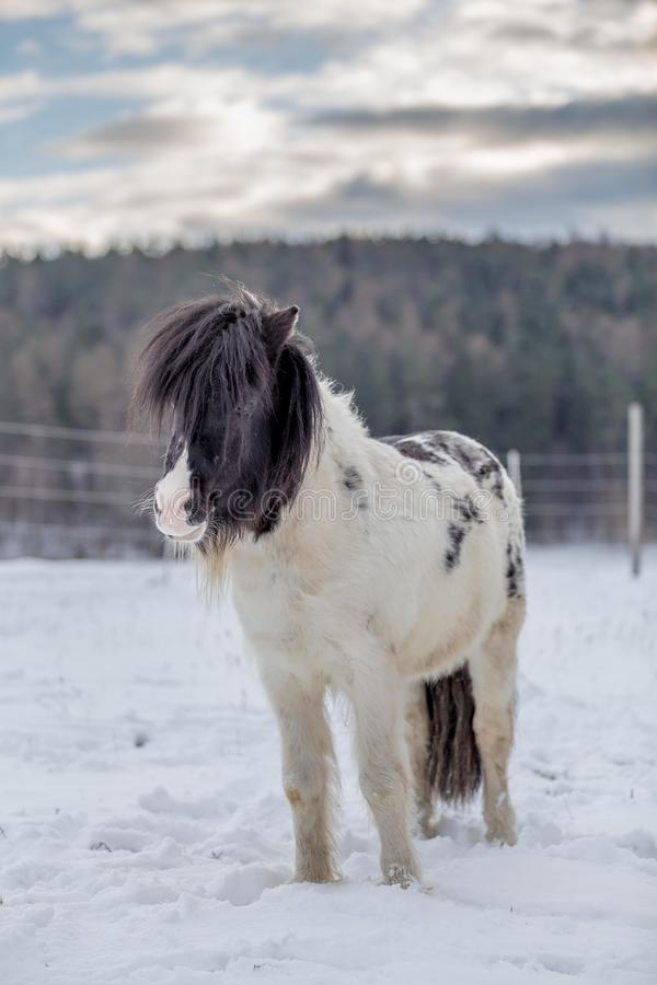 Black and white pony standing in the snow stock photo