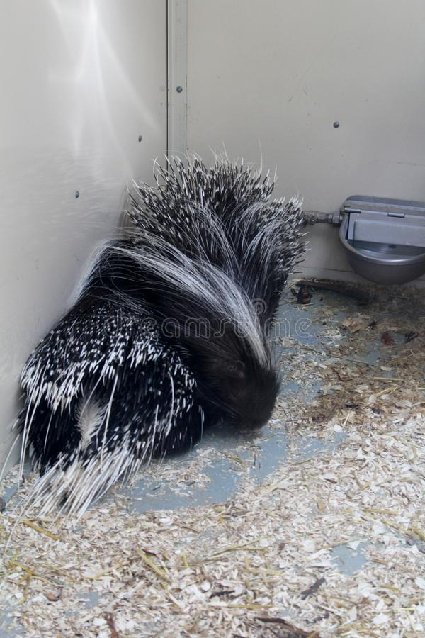 Black and white porcupine are warming up royalty free stock images