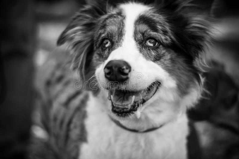 Black and White Australian Shepherd royalty free stock photography