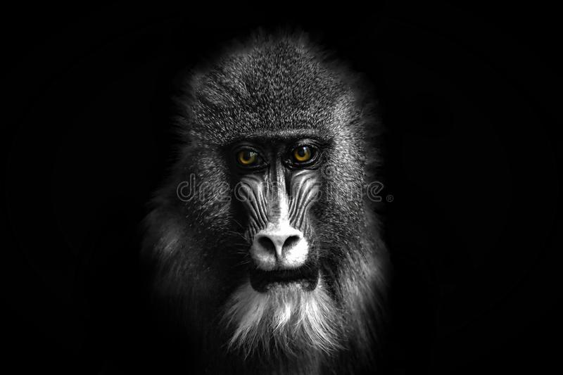 Black and white portrait of a baboon monkey with colored eyes stock images