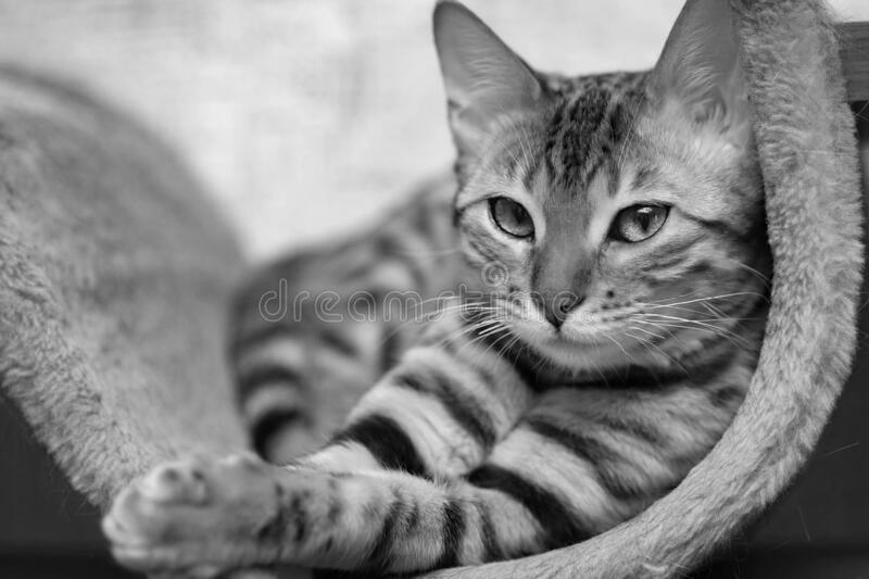 Black and white portrait of bengal cat looks stock photos