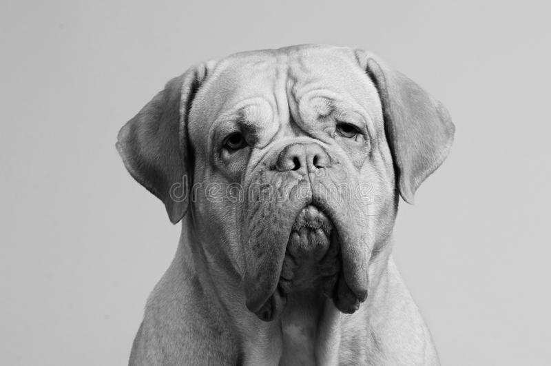 Black-and-white portrait of French Mastiff royalty free stock image