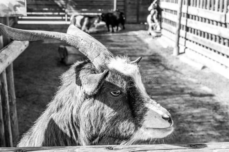 Black and White Portrait of a goat. royalty free stock image