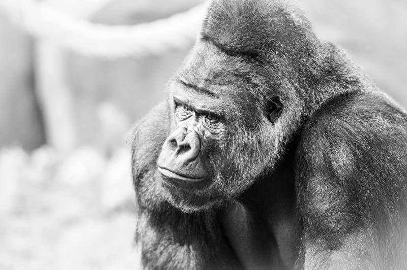 Black and White Portrait of Gorilla royalty free stock photos