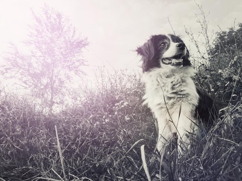 Black and white portrait of a happy border collie dog seated on the field in the middle of the nature looking around enjoying the royalty free stock image