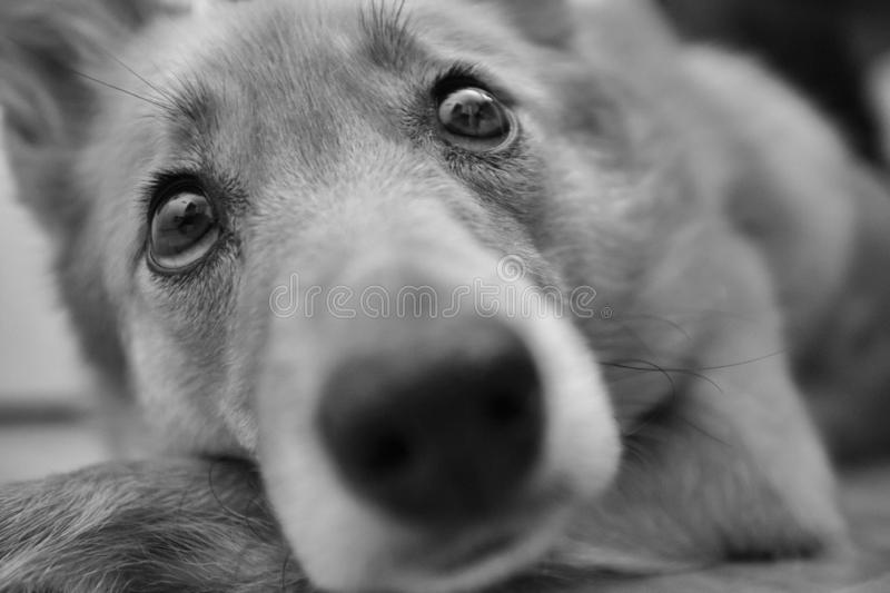 Black and white portrait of Karelo Finnish Laika royalty free stock image