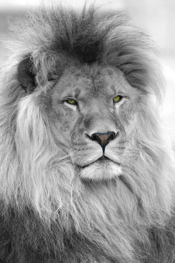 Black and white portrait of lion. Black and white portrait of an African lion (Panthera leo) with the eyes and nose in color royalty free stock images