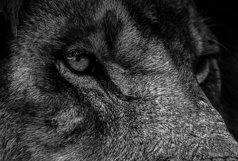 Black and white portrait of a lion. Eyes close up .Photo of the animal world.  royalty free stock photo