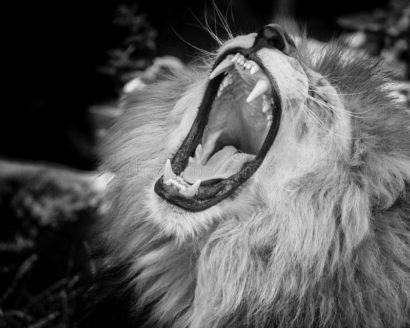 Black and white Portrait of a roaring lion stock images