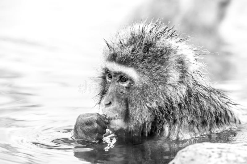 Black and white portrait of Snow monkey Macaca fuscata from Jigokudani Monkey Park in Japan. Cute Japanese macaque. Sitting in a hot spring stock photography