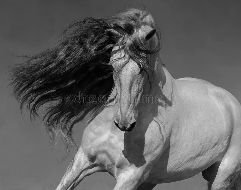Black-and-white portrait of white Spanish horse with long mane royalty free stock images