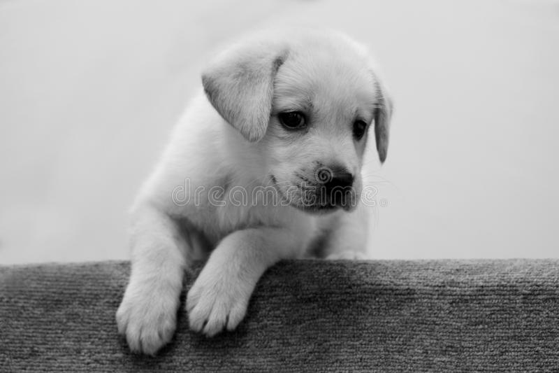 Black and white puppy royalty free stock images
