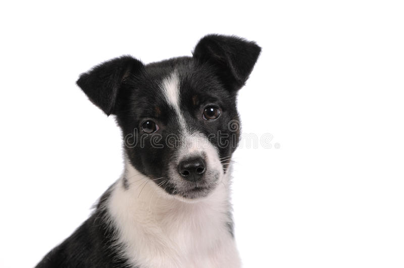 Black and white puppy dog. Close up royalty free stock photography