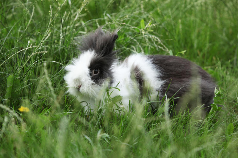 Black and white rabbit on green grass in summer day. Black and white rabbit on green grass in summer garden royalty free stock images