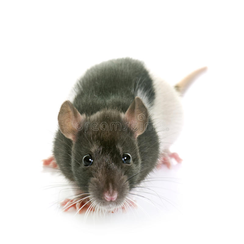 Black and white rat royalty free stock photography