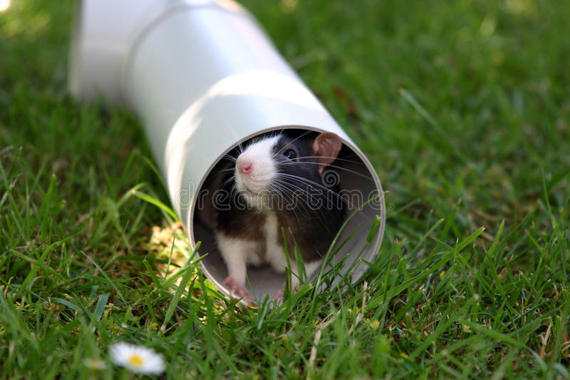 Black and white rat in plumbing pipe royalty free stock images