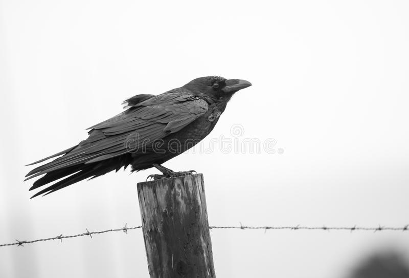Black and White Raven on Fence Post. A Raven braces against the wind, standing on a fence post with barbed wire stock images