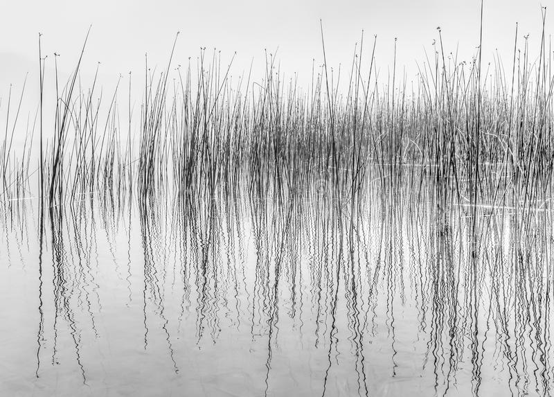 Black and white of reflecting reeds in water stock photo