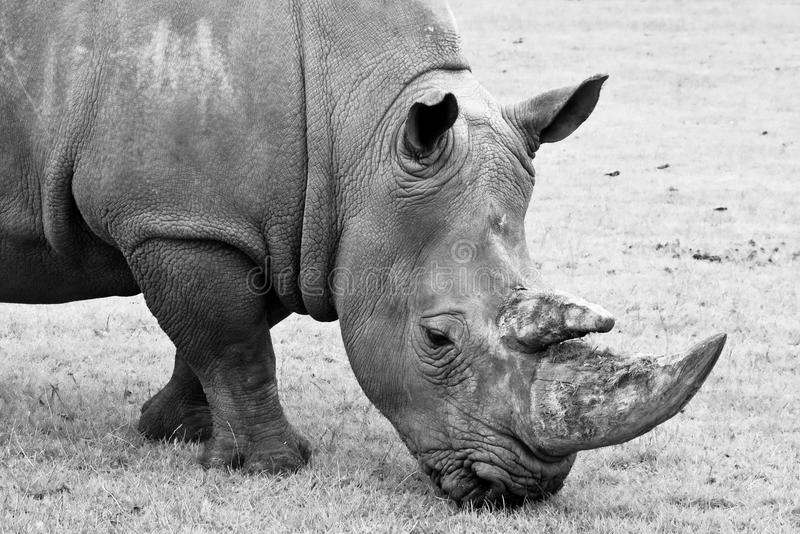 Black and white Rhino. Close up black and white Rhino royalty free stock images