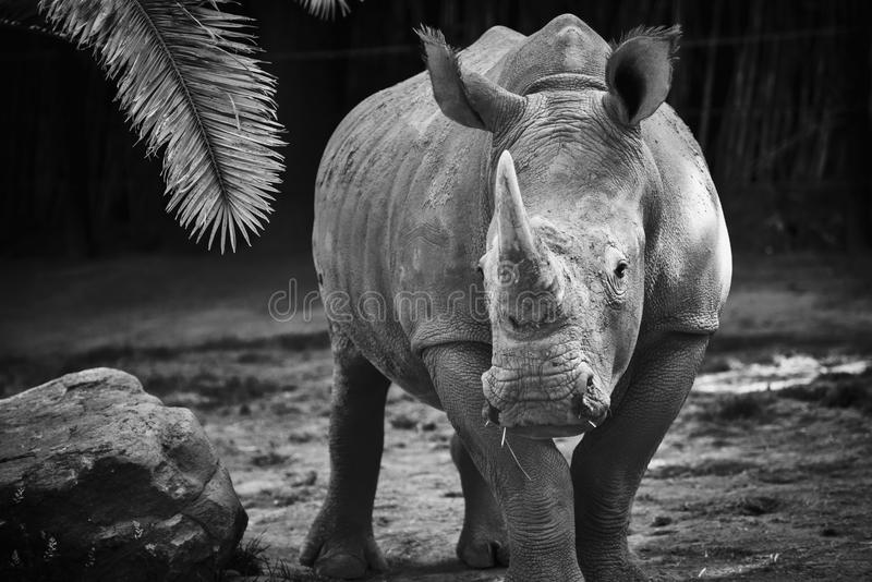 Black and white rhino. In the sabana royalty free stock photos