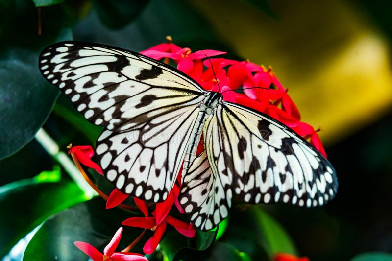 Black White Rice Paper Paper Kite Butterfly Pink Flowers royalty free stock photo