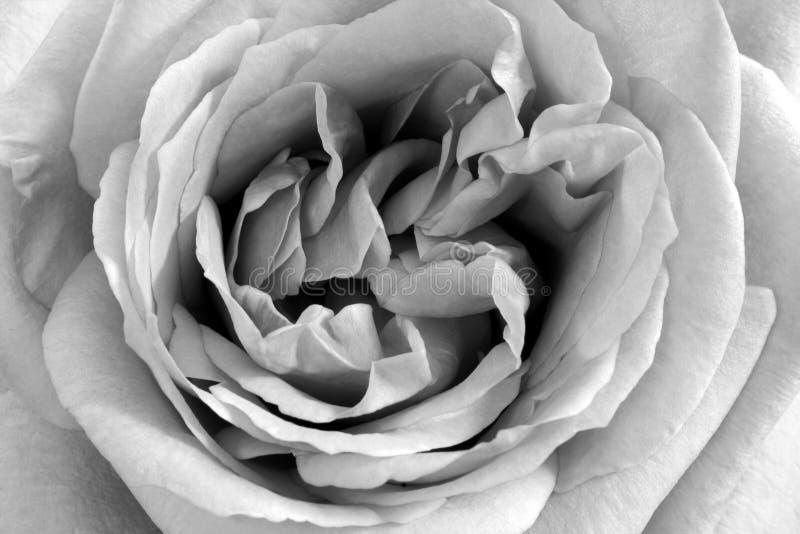 Black and White Rose stock photos