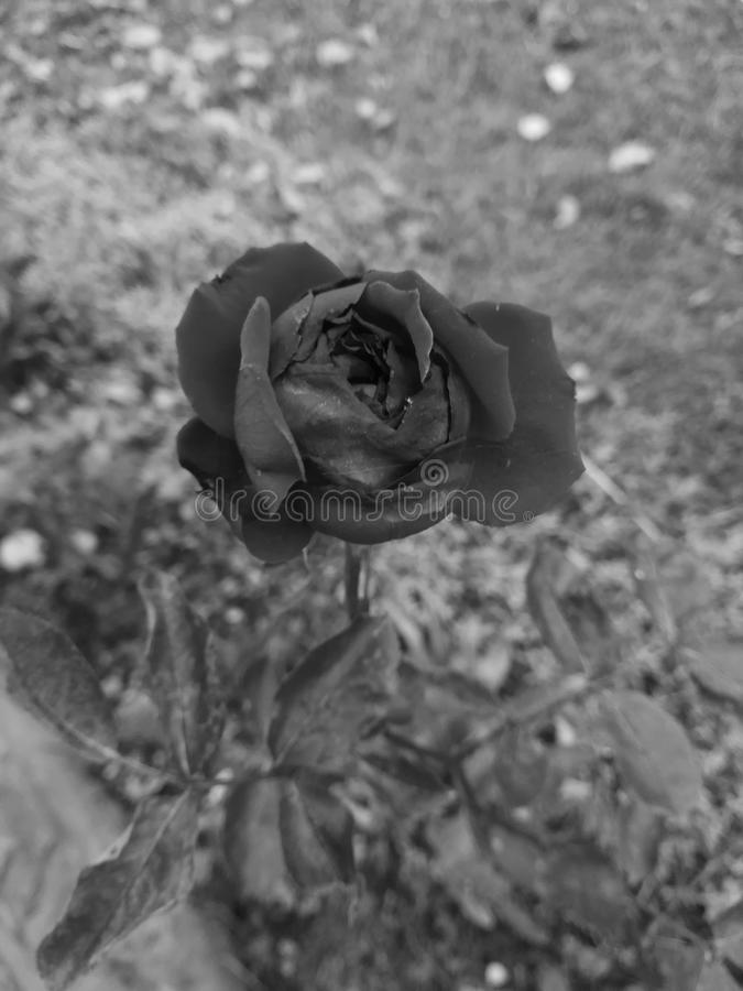 Black and white rose royalty free stock photos