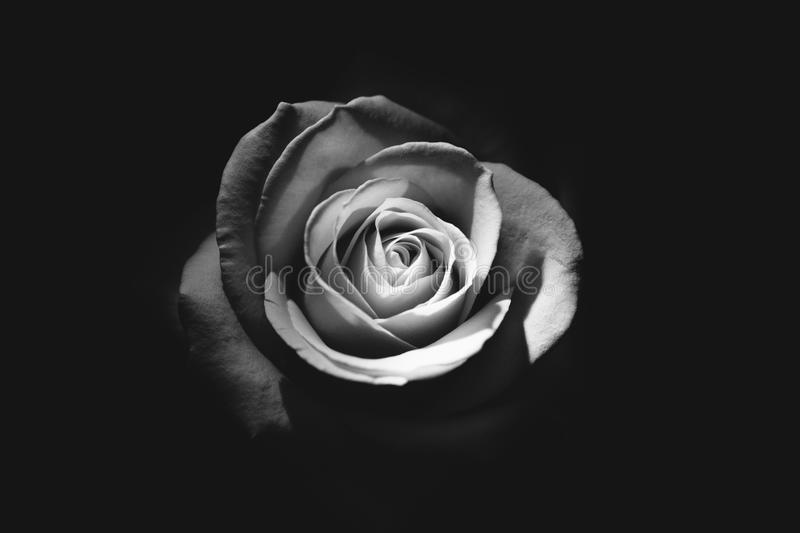 Black and white rose stock photography