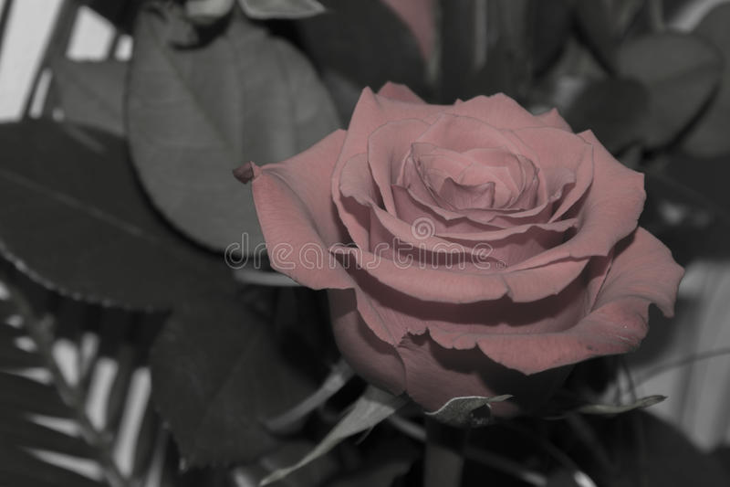 The Black and White Rose royalty free stock photos