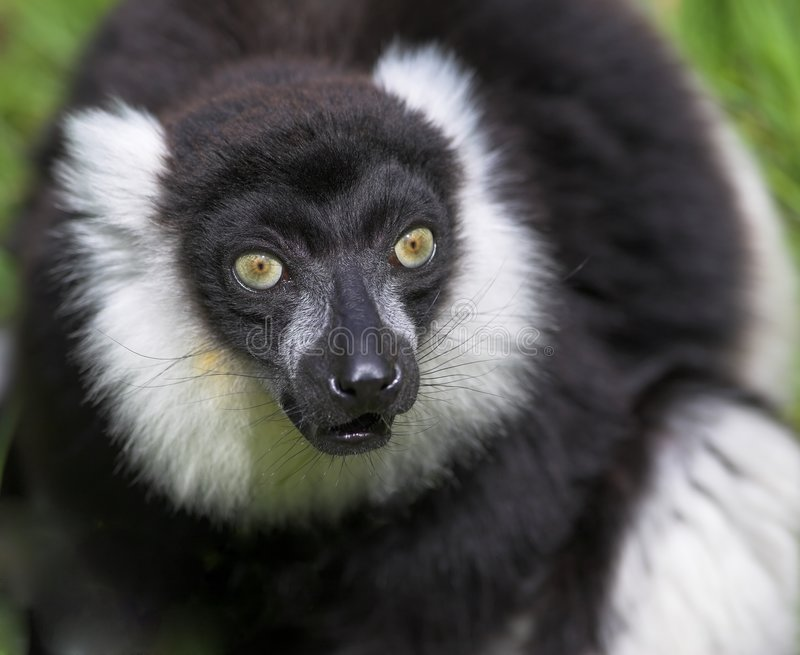 Download Black And White Ruffed Lemur Stock Photo - Image: 1027886