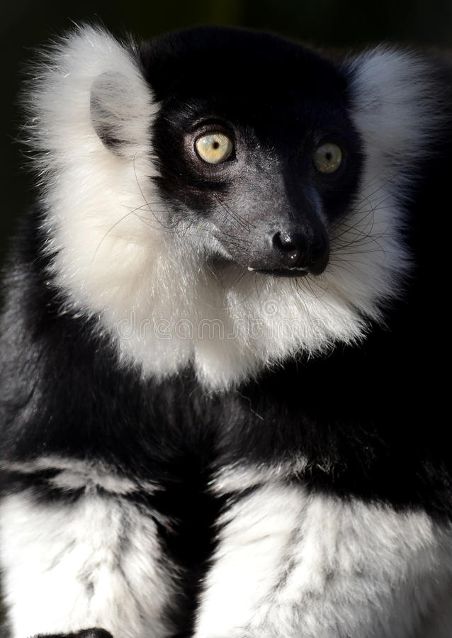 Black and White Ruffed Lemur. Close-up portrait of a black and white ruffed lemur (Varecia variegata variegata royalty free stock photography