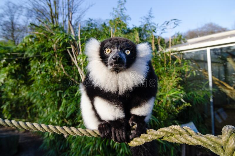 Black and white Ruffed Lemur stock photos
