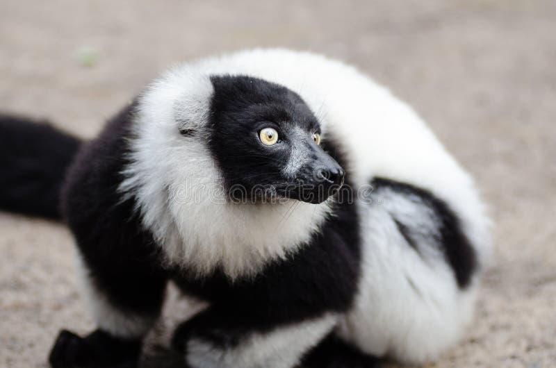 Black And White Ruffed Lemur Free Public Domain Cc0 Image