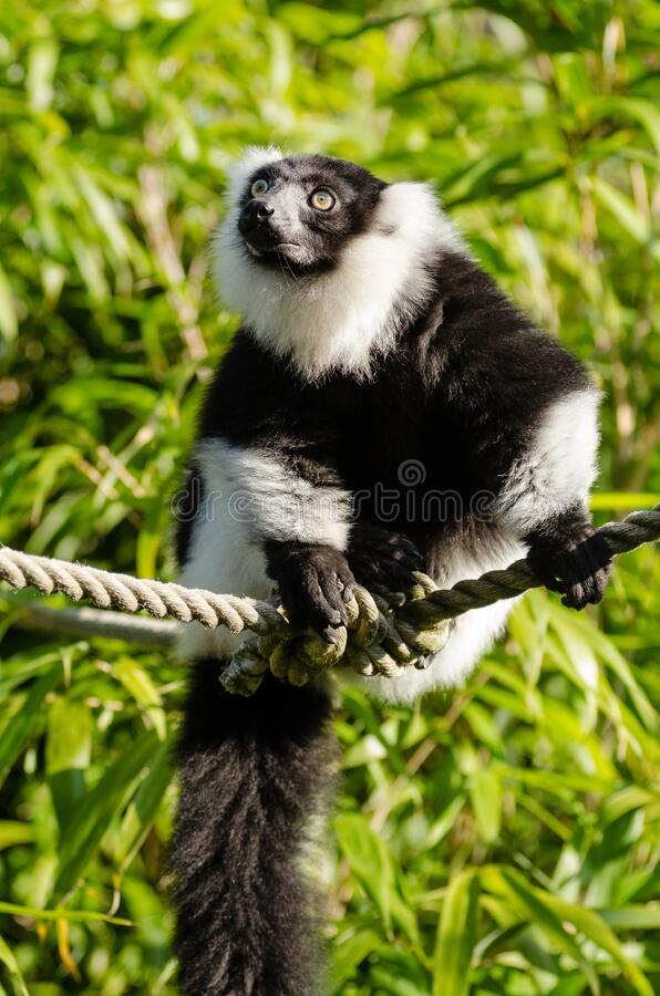 Download Black And White Ruffed Lemur Stock Image - Image of füse, blanco: 84979485