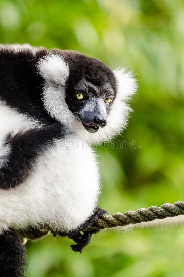 Download Black And White Ruffed Lemur Stock Photo - Image of feet, füse: 84981330