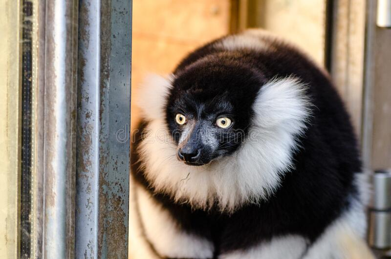 Black And White Ruffed Lemur Free Public Domain Cc0 Image