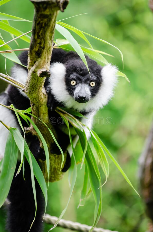 Black-and-white Ruffed Lemur Free Public Domain Cc0 Image