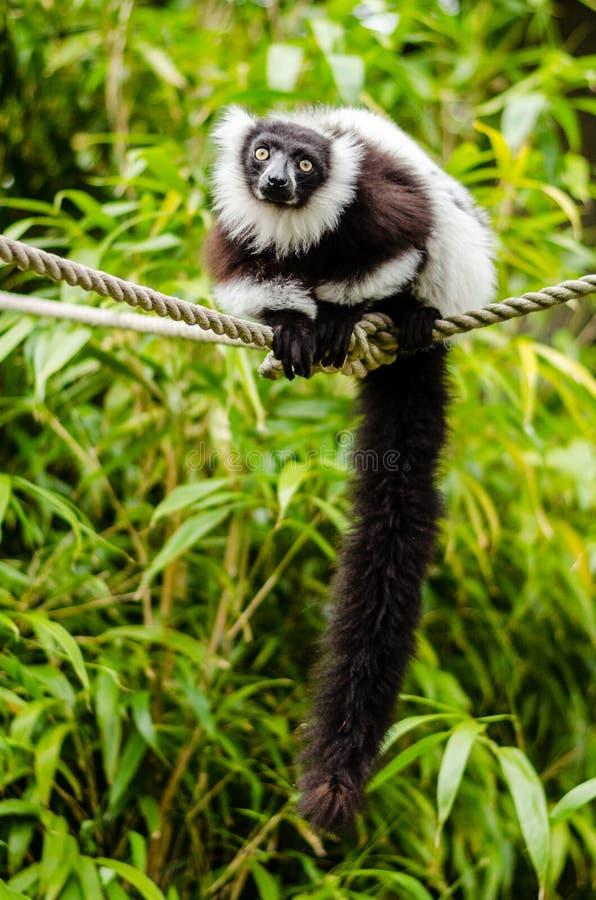 Black-and-white Ruffed Lemur Free Public Domain Cc0 Image