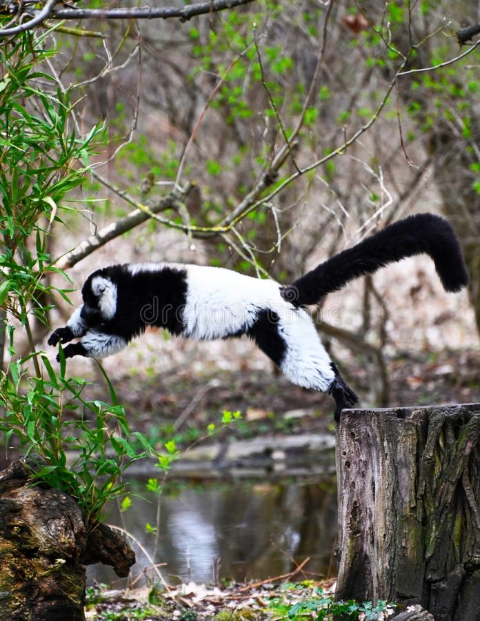 A black and white ruffed lemur jumps between  two trees. A black and white ruffed lemur jumps between the trees in the rainforest stock photos