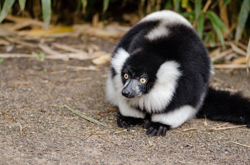 Black and white Ruffed Lemur stock photo