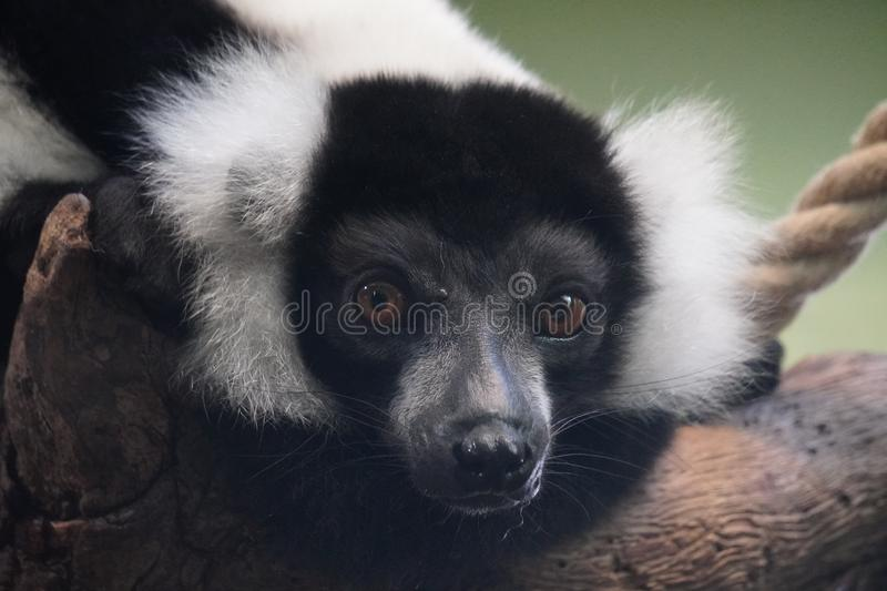 Black and white ruffed lemur looking out at the world. Black and white ruffed lemur waiting for they next meal and enjoy the weather royalty free stock photos