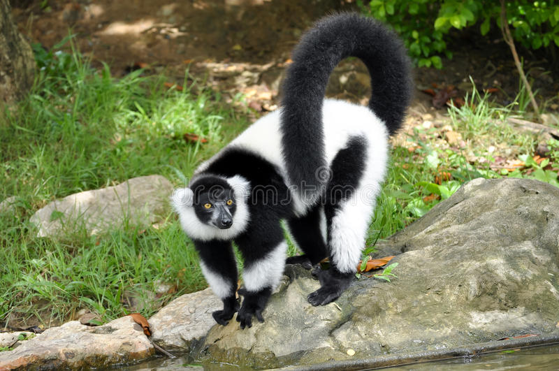 Black and white ruffed lemur. The black and white ruffed lemur is the more endangered of the two species of ruffed lemurs, both of which are endemic to the royalty free stock photography