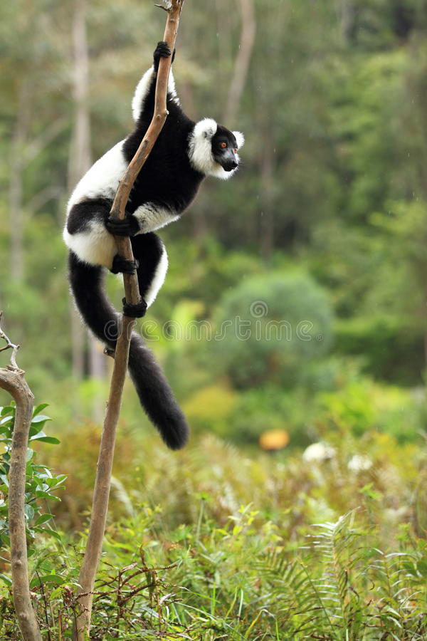 Black-and-white ruffed lemur. In the rain royalty free stock images