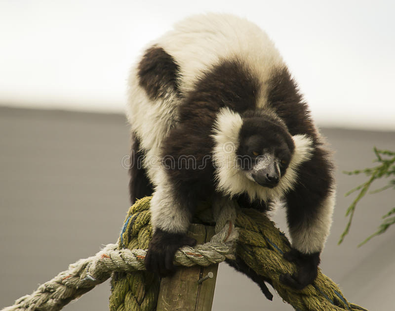 Black and white ruffed lemur. On a rope in a zoo stock photos