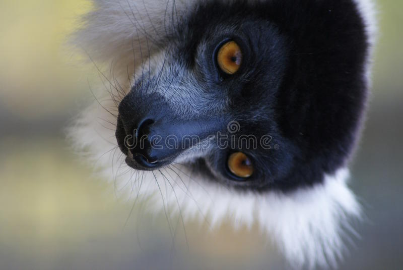 Black and White Ruffed Lemur - Varecia variegata. A Black and White Ruffed Lemur - Varecia variegata stock photos