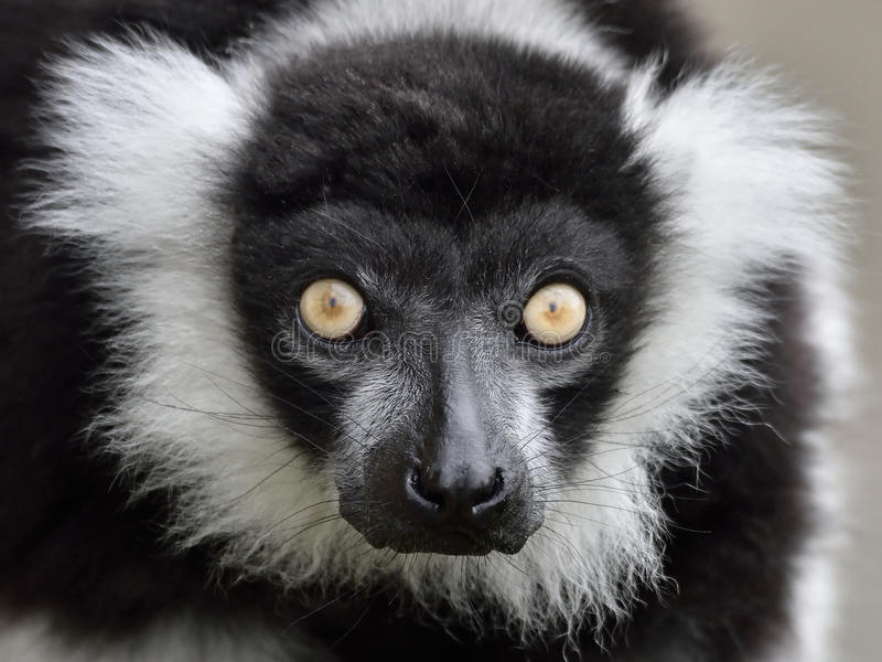 Black and white ruffed Lemur (Varecia variegata). Closeup portrait of the Black and white ruffed Lemur stock photo