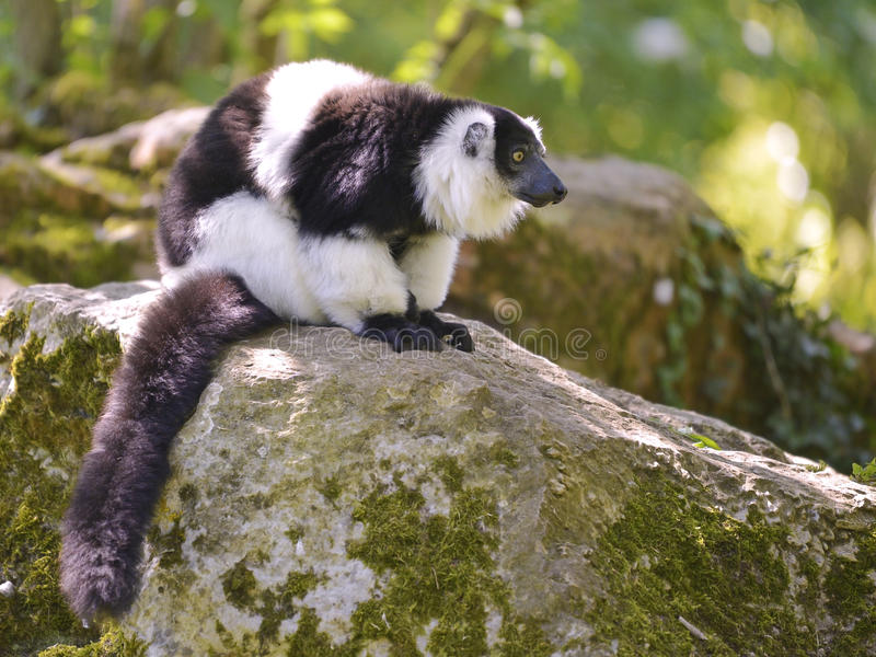 Black-and-white ruffed lemur. Varecia variegata subcincta on rock stock image